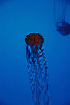 Rising Jellyfish by Bruce Gourley