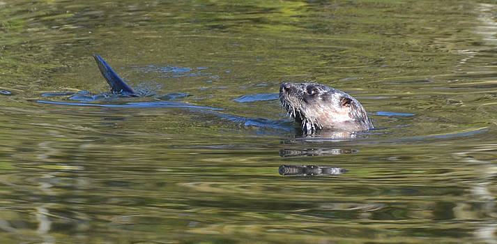River Otter by Julie Cameron