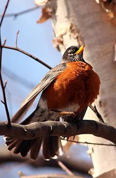 Robin Bird by Diane Rada