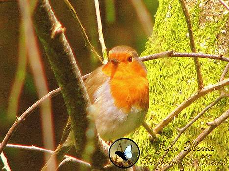 Robin by John Morris