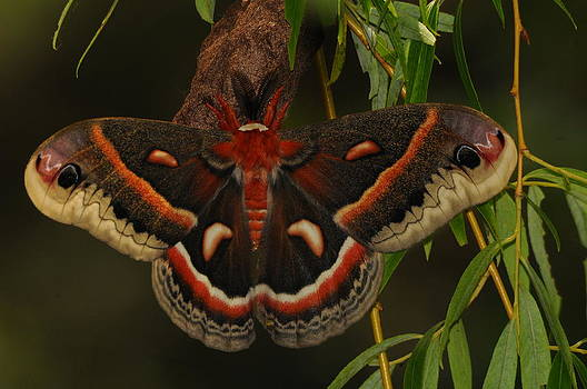Robin Moth by Dick Todd