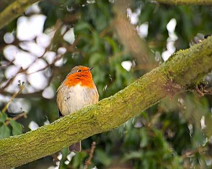 Robin On Branch by Dave Woodbridge