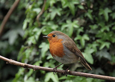 Robin by Peter Skelton