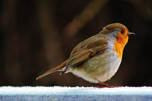 Robin Redbreast by Catherine Davies