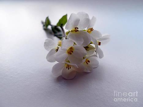 Rock Arabis Flowers by Phil Paynter