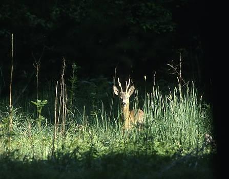 Roe-deer looking at the photographer by Patrick Kessler
