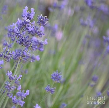 Romantic Lavender Flowers by P S