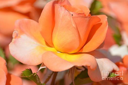 Romantic Peach Rose by P S