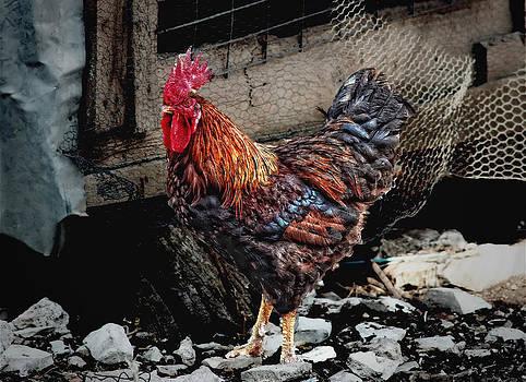 Rooster by Leonardo Marangi