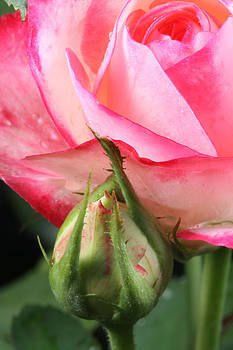 Rose and Bud by David Yunker