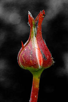 Rose by Ann-Charlotte Fjaerevik