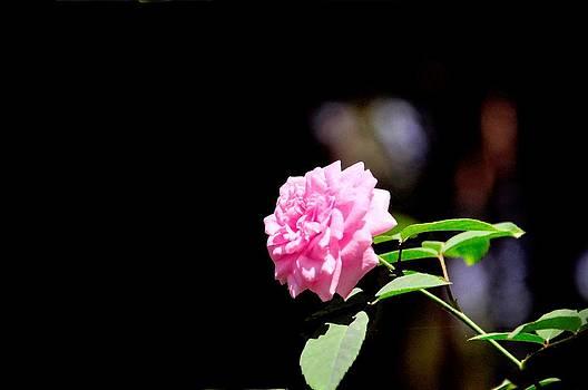 Rose by B Thottoli