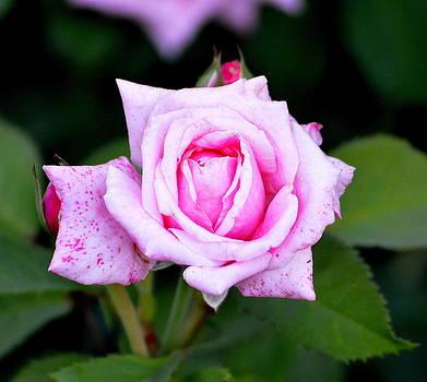 Rose by Billie sue  Crownover