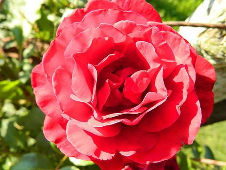 Rose bloom by Linda Brown