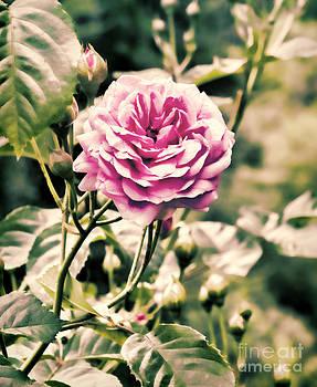 Rose Blush by Karen Lewis