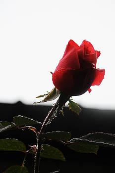 Rose Bud 2011 by Leon Hollins III