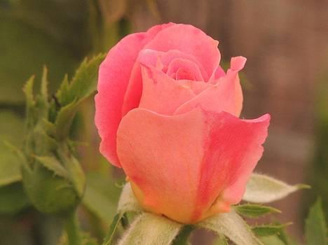 Rose bud by Kyla Heath