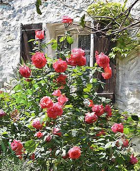 Dominique Amendola - Rose bush