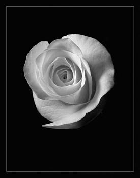 Rose by Eugene Dailey