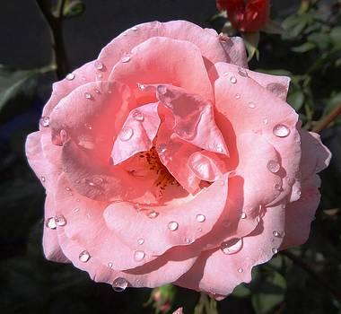 Rose by Faouzi Taleb