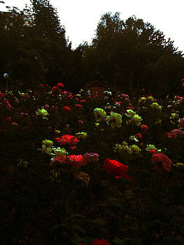 Rose Garden by Lucy D