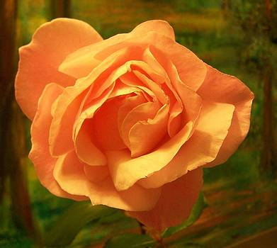 Patricia Taylor - Rose Gold in Full Bloom