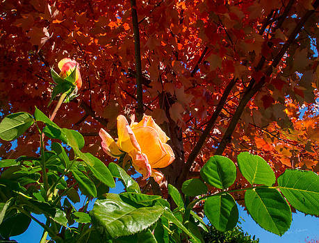 Mick Anderson - Rose in Autumn