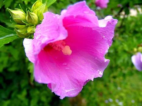 Rose of Sharom Wet by Mark Malitz