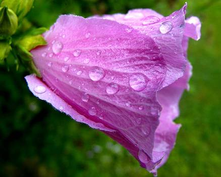 Rose of Sharon with Rain by Mark Malitz
