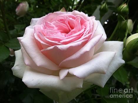 Rose Pink by Sandra Spincola