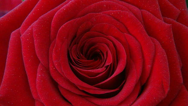 Rose Red by Shawn Marlow