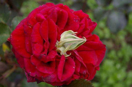 Rose with a Nose by Christine Burdine
