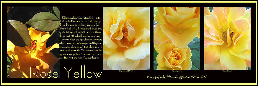Rose Yellow by Brooks Garten Hauschild