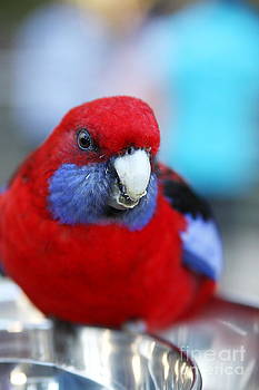Rosella by Fir Mamat
