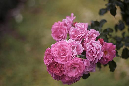 Roses by Brady Lane