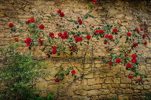 Roses II by Celso Bressan