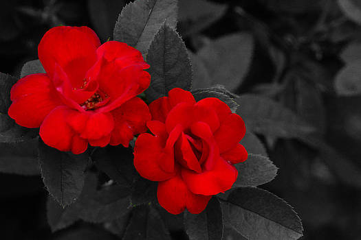 Roses by Jim Martin