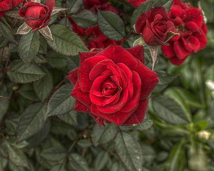 Roses Red by Neil Todd