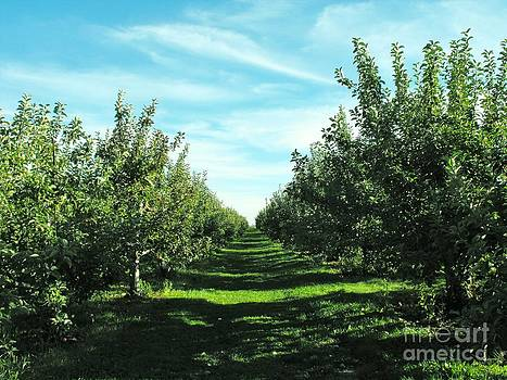 Rows of Apple Trees by Lisa J Gifford
