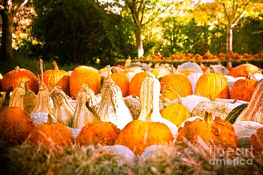 Sonja Quintero - Rows of Pumpkins