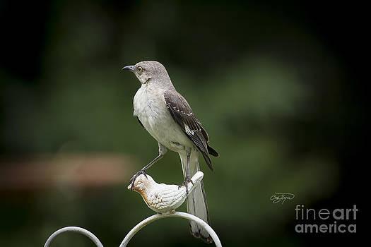 Royal Mockingbird by Cris Hayes