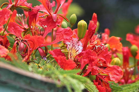 Royal Poinciana by Christine  Fifer