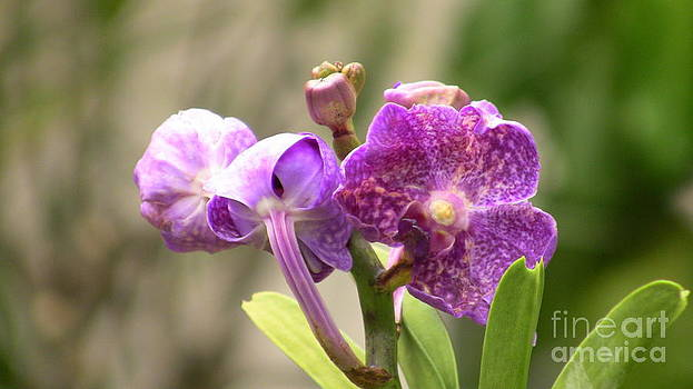 Royal Purple Orchid by Rory Ivey