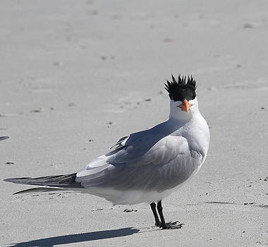 Royal Tern Mohawk by Cathy Lindsey