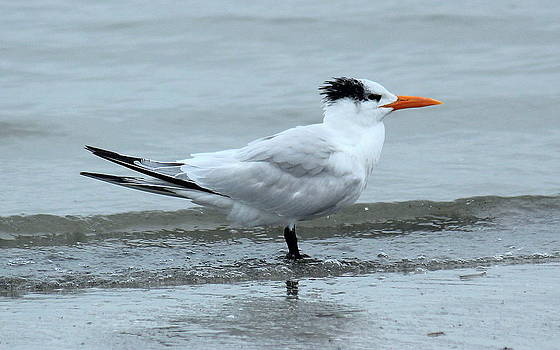 Rosanne Jordan - Royal Tern