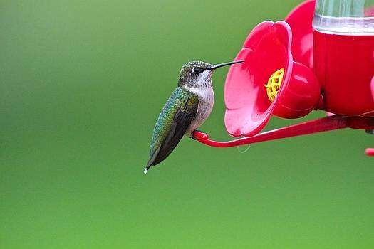Ruby-Throated Hummingbird Female Display by John Dart