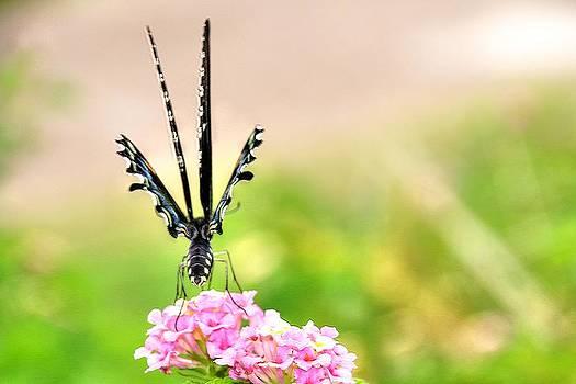 Ruffled Swallowtail by Lorri Crossno