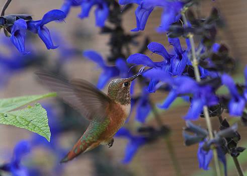 Rufous Hummingbird by Diane Porter