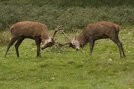Rutting Stags by Paul Scoullar