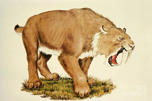 Tom McHugh - Sabretooth Cat